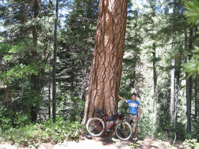 A particularly large ponderosa pine alongside Hermosa creek trail.