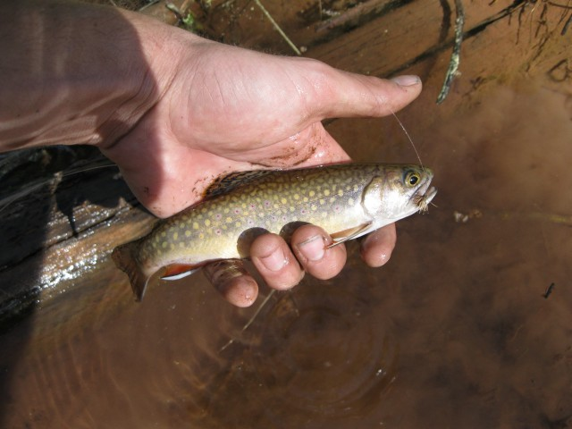 Little Brook trout