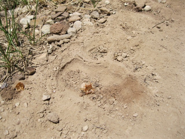 Big bear tracks all the way up Corral Draw.