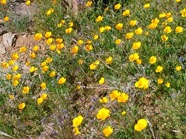 Poppies were out in force along some sections of trail.