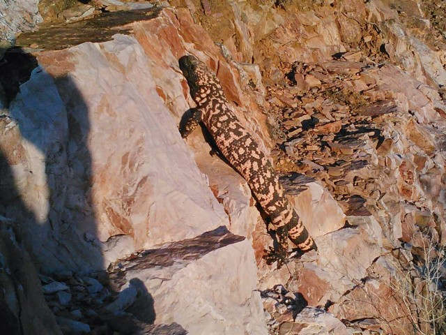 Our 2nd Gila Monster within an hour!!