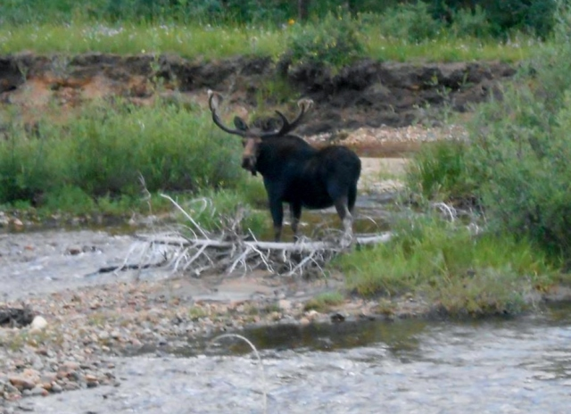 Original Moose in Creek 2
